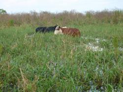 Cows Graving on grass in the river.  Yes--cows!